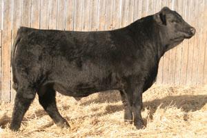 Black angus bulls for sale