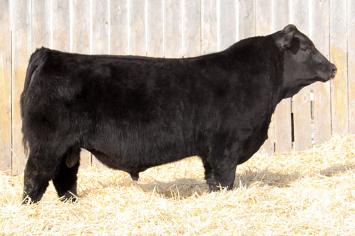Cattle co for purchasing this bull at the 2012 your choice bull sale