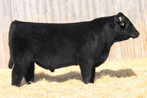 Black angus bulls your choice bull sale 2012
